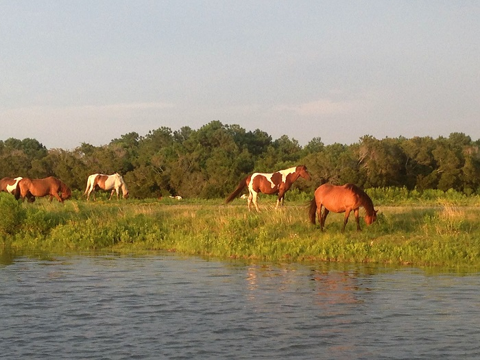 Chincoteague Ponies wild on Assateague Island